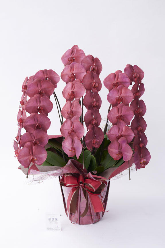 <p>ボルドーカラーが高級感と気品を表現している唯一無二の胡蝶蘭(コチョウラン)商品です。</p>