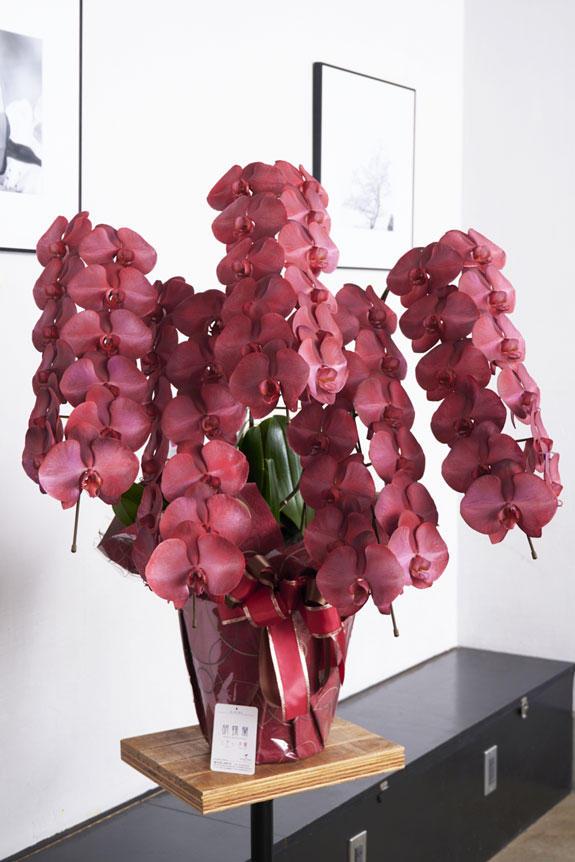 <p>特殊加工で鮮やかに染まったカラー胡蝶蘭彩(irodori)は、開店祝い、就任祝い、周年祝いなど、様々なシーンで活躍するお祝い花です。</p>