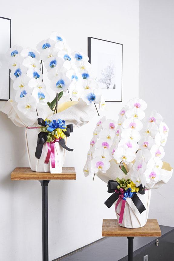 <p>特殊加工で染まったカラー胡蝶蘭彩(irodori)は、開店祝い、就任祝い、周年祝いなど、様々なシーンで活躍するお祝い花です。</p>
