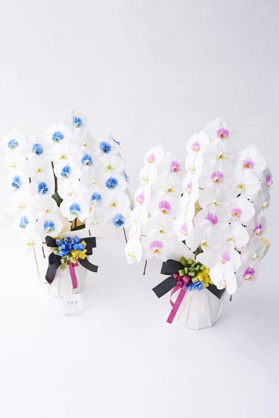 <p>カラー胡蝶蘭彩(irodori)の特徴でも大きな花綸、クリティの高さは変わりません。</p>