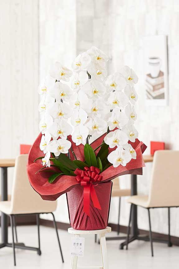 <p>金ラメ装飾に気を取られがちですが、胡蝶蘭のお花自体のクオリティも高いお祝い花です。</p>