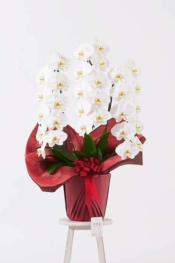 <p>ゴージャスでエレガントな雰囲気が特徴のゴールドラメ装飾胡蝶蘭です。</p>