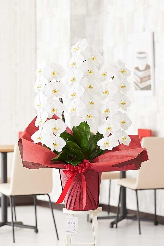 <p>パール系ホワイト装飾に気を取られがちですが、胡蝶蘭のお花自体のクオリティも高いお祝い花です。</p>