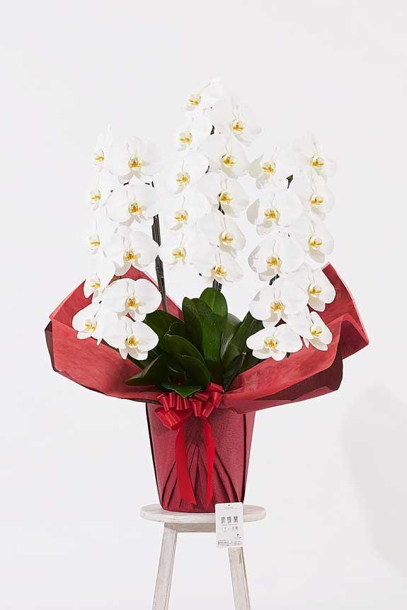 <p>ゴージャスでエレガントな雰囲気が特徴のパールホワイトラメ装飾胡蝶蘭です。</p>