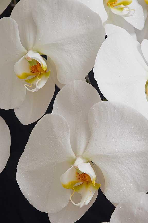 <p>パールホワイトに輝くラメを散りばめた胡蝶蘭は、多くのお花が並ぶお祝い事のシーンでも目をひく一品でしょう。</p>