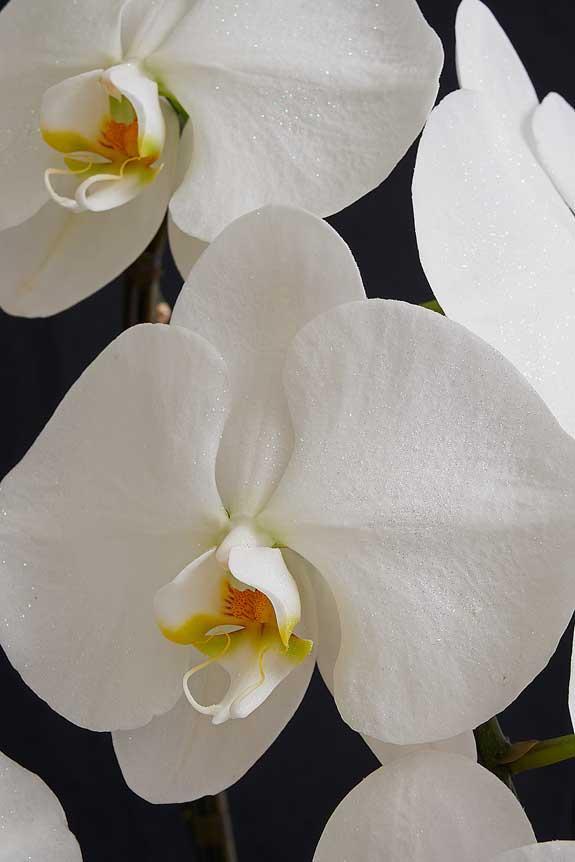<p>大振りなコチョウランの花の上に散りばめられたパールホワイトラメが高級感を演出します。</p>