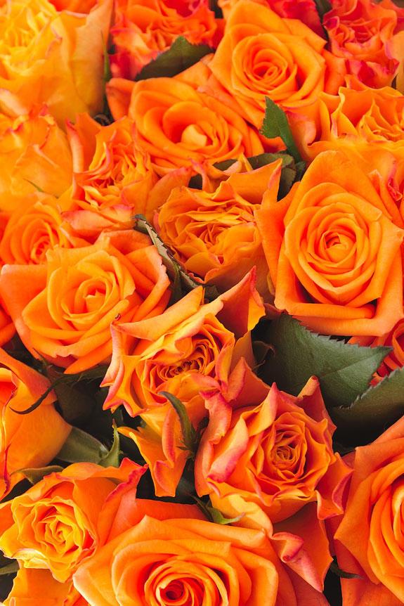 <p>皇室献上、農林水産大臣賞実績の農園が生産する国産バラは、花の大きさ、葉の瑞々しさ、花持ちの長さが一般的な生花店で販売されているバラとは異なります。</p>