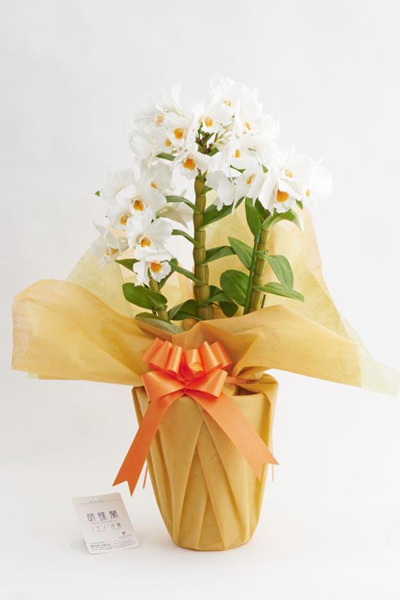 <p>開店祝い、開業祝い、就任祝い、誕生日祝い、結婚祝い、新築祝い、引越祝いなど、様々なシーンのお祝い事のプレゼント、贈り物などのフラワーギフトとしてお薦めしたい洋蘭です。</p>