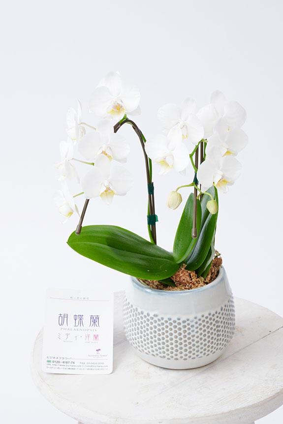 <p>適切な環境下で管理した場合、アレンジメントフラワーや花束などの切り花と異なり、花持ちも1ヶ月以上と長い期間楽しむ事が可能、翌年再び花を咲かせるといった楽しみ方もできる魅力があります。</p>